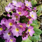 Fleurs Lacaune
